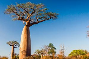 Baobab-tree-from-Madagascar.jpg