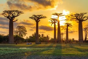 Beautiful-Baobab-trees-at-sunset-at-the-avenue-of-the-baobabs-in-Madagascar-.jpg
