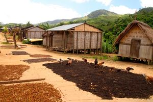 Coffee-beans-drying-in-small-Malagasy-village-in-Masoala-National-Park-in-Madagascar-on-the-route-from-Maroantsetra-to-Antalaha.jpg