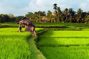 Rice-field-in-early-stage-at-Ubud,-Bali.jpg
