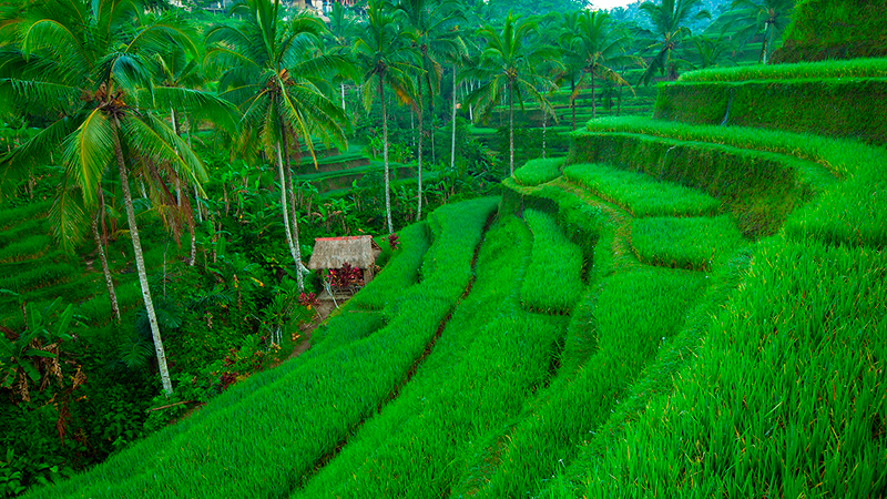 Terrace-rice-fields-on-Bali.jpg