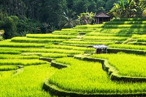 Rice-terraces-of-Bali-Island,Jatiluwih,-near-Ubud,--Indonesia.jpg