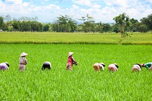 Farmer-in-the-paddy-field,-Lombok.jpg