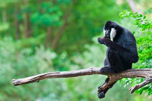 White-Cheeked-Gibbon.jpg