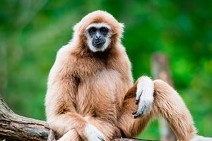 White-Cheeked-Gibbon-1.jpg