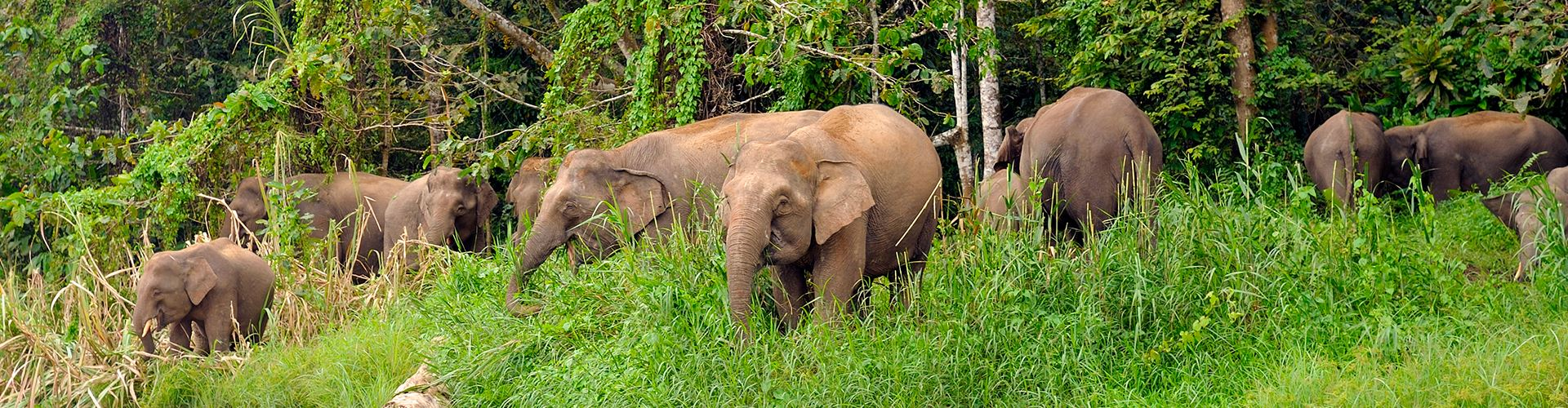 Family-of-wild-Borneo's-Pygmy-elephants.jpg