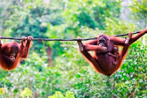 Mother,-baby-and-child-orangutans-from-Sabah.jpg