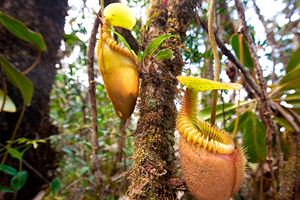 Nepenthes-villosa-also-known-as-monkey-pitcher-plant.jpg