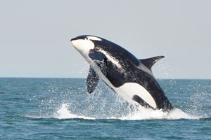 A-young-killer-whale-breaches-in-the-Strait-of-Georgia-near-Vancouver1.jpg