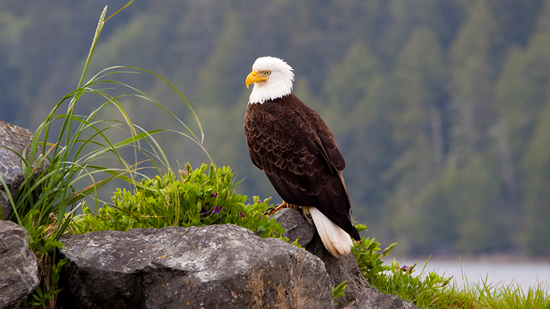 Beautiful-American-Bald-Eagle.jpg