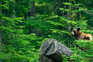 Black-Bear-in-Forest---British-Columbia,-Canada.-Black-Bear-in-His-Habitat.jpg