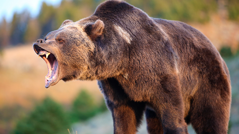 North-American-Brown-Bear-(grizzly)-Growling.jpg