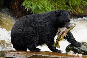 The-American-black-bear-catching-fish.jpg