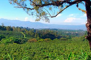Coffee-plantation-in-Costa-Rica.jpg