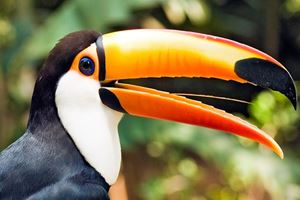 Colorful-Toucan-Bird-Profile.jpg
