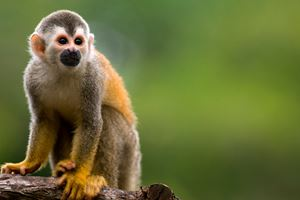 Squirrel-monkey-in-a-branch-in-Costa-Rica-1.jpg