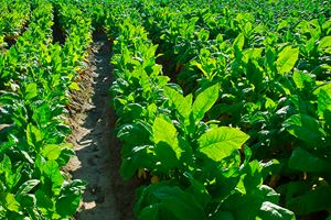 Tobacco-leafs-at-a-plantation-(tobacco,-cuba,-plant).jpg