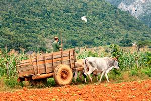 Working-on-Vinales-tobacco-fields-(cuba,-trinidad).jpg