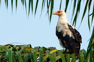 A-Palm-Nut-Vulture.jpg