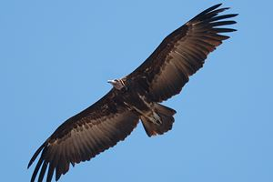 Hooded-Vulture-flying-over-Kololi-Beach.jpg