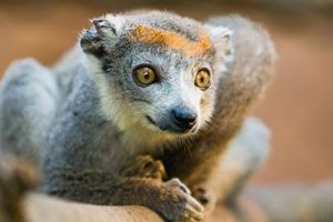 Crowned-Lemur.jpg