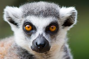 Ring-tailed-lemur-portrait.jpg