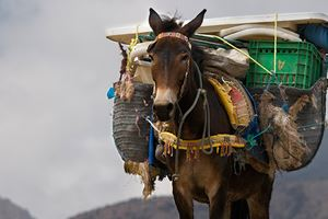 Mule-in-Northern-Africa.jpg