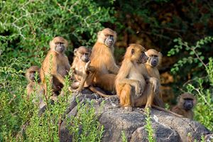 Baboon-family-group-in-Senegal.jpg