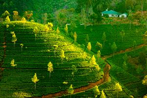 Landscape-with-green-fields-of-tea-in-Sri-Lanka.jpg