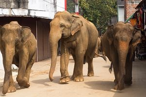 lephants-walking-on-the-srtreet-at-Elephant-Orphanage-in-Pinnawela,-Sri-Lanka.jpg