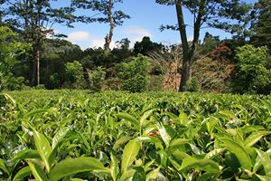 tea-plantation-in-Sri-Lanka.jpg