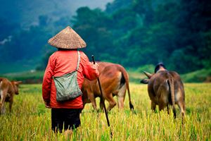 buffalo-shepherd-on-the-rice-field.jpg