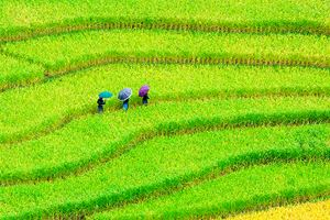 terraced-rice-field-in-sunshine,-Yen-Bai,-Vietnam.jpg