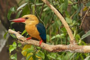 Stork-Billed-Kingfisher.jpg