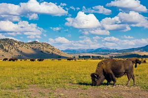 Bison-show-in-Grand-Teton-National-Park.jpg