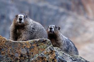 Hoary-Marmots-in-Jasper-National-Park.jpg