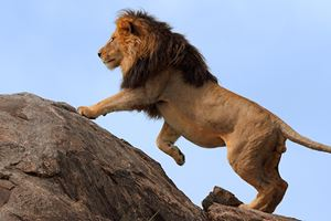 Blackmaned-lion-climbing-on-top-of-boulder.jpg