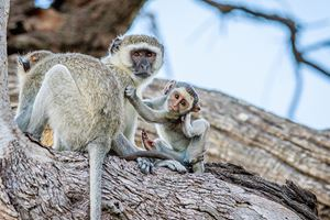 Family-of-Vervet-monkeys-sitting-in-a-tree-in-the-Chobe-National-Park,-Botswana-(2).jpg