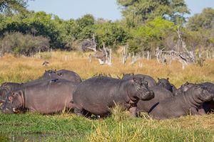 Group-or-family-of-hippos-laying-and-grazing-on-grass-close-to-river.jpg