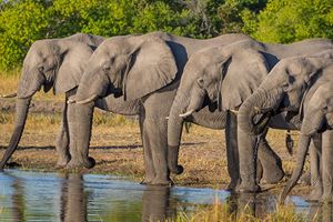 Large-group-of-elephants-drinking-in-row-at-waterhole-in-golden-afternoon-light.jpg