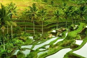 Terrace-rice-fields-in-morning-sunrise,-Ubud,-Bali,-Indonesia.jpg